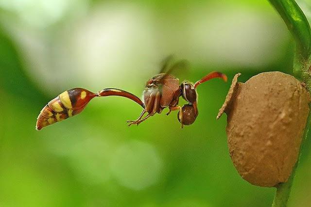 پرینت سه بعدی هوردیس ، زنبور سفالگر